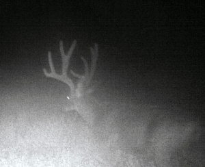 Night Buck back